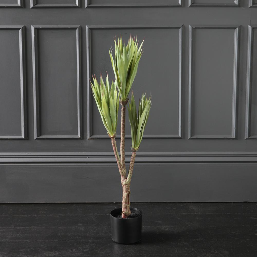 Triple Stem Sisal Tree