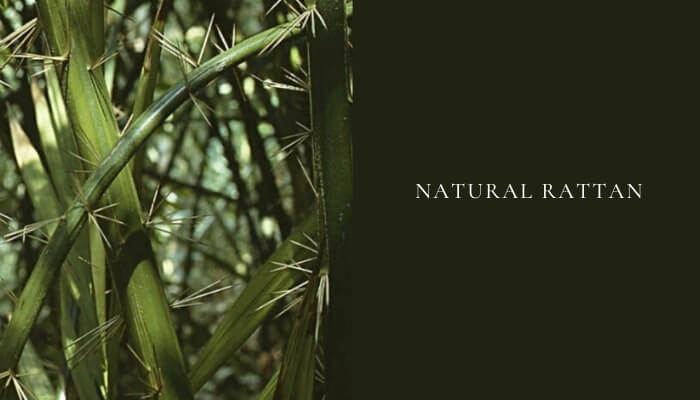 Natural rattan growing in the wild